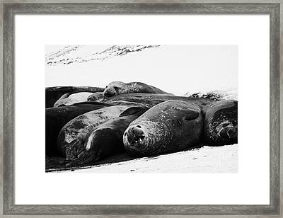 elephant seals hannah point livingstone island Antarctica Framed Print by Joe Fox