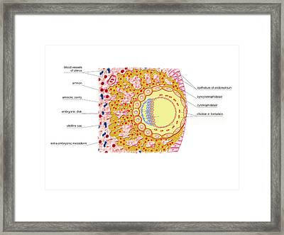 Embryo Formation Framed Print by Asklepios Medical Atlas