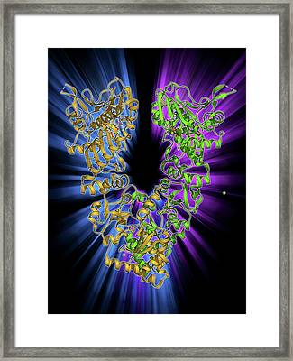 Endoplasmic Reticulum Chaperone Protein Framed Print by Laguna Design