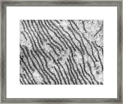 Endoplasmic Reticulum Tem Framed Print by David M. Phillips