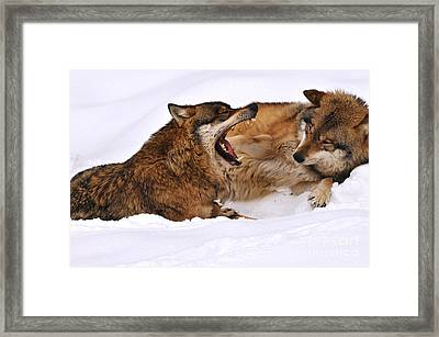 European Wolves Framed Print by Reiner Bernhardt