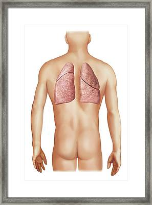 External Projection Of The Lungs Framed Print by Asklepios Medical Atlas