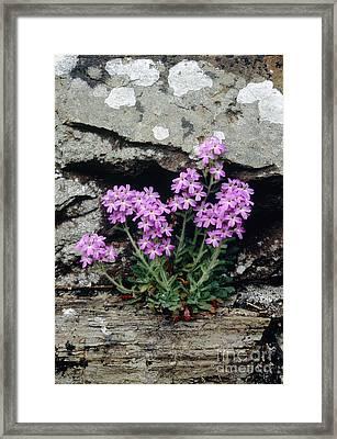 Fairy Foxglove Erinus Alpinus Framed Print by Adrian T Sumner