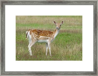 Fallow Deer Doe Framed Print by Nigel Downer
