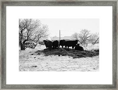 feed and fresh grass laid out for cows on winter farmland Forget Saskatchewan Canada Framed Print by Joe Fox