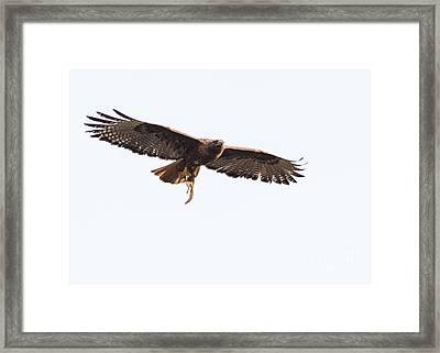 Female Red-tailed Hawk In Flight Framed Print by Carl Jackson