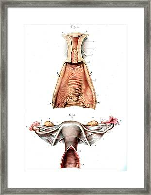 Female Reproductive System Framed Print by Collection Abecasis
