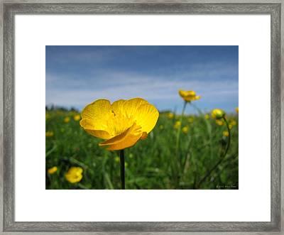 Field Of Buttercups Framed Print by Matt Taylor