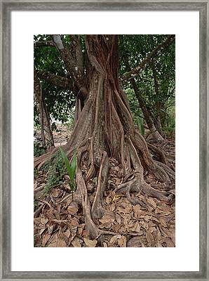Fig In Tropical Rainforest Costa Rica Framed Print by Gerry Ellis