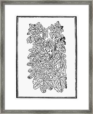 Fig Tree, 16th Century Framed Print by Granger