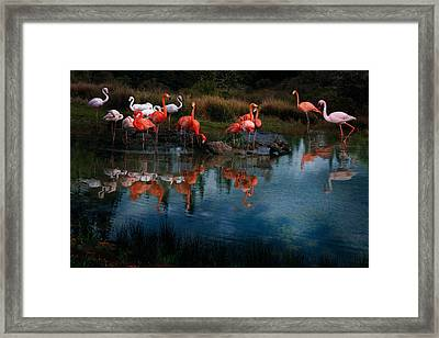 Flamingo Convention Framed Print by Melinda Hughes-Berland
