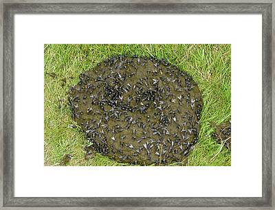 Flies On Cow Dung Framed Print by Bob Gibbons