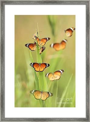 Flock Of Plain Tiger Danaus Chrysippus Framed Print by Alon Meir