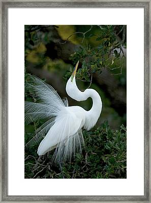Florida, St Augustine Great Egret Framed Print by Jaynes Gallery