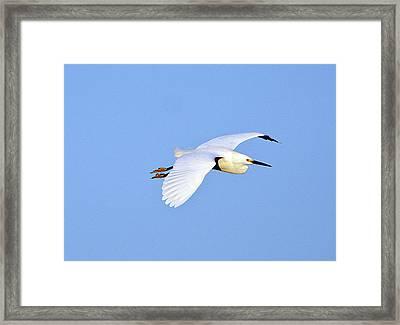 Florida, Venice, Snowy Egret Flying Framed Print by Bernard Friel