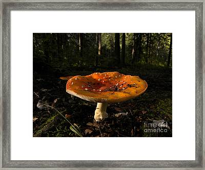 Fly Agaric Amanita Muscaria Framed Print by Ron Sanford