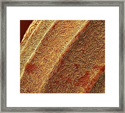 Foraminiferan Test Framed Print by Steve Gschmeissner