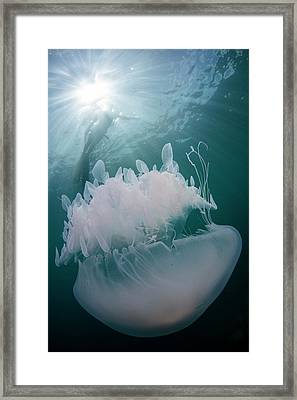 Free Diver With Jellyfish Framed Print by Scubazoo