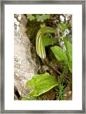 Friar's Cowl (arisarum Vulgare) Framed Print by Bob Gibbons