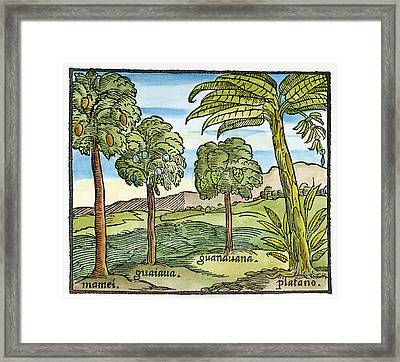 Fruit Trees Of Hispaniola Framed Print by Granger