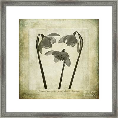 Galanthus Nivalis Flore Pleno Framed Print by John Edwards