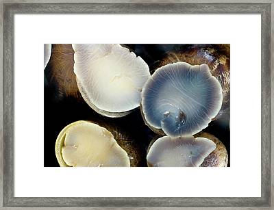 Garden Snails Adhering To Glass Framed Print by Dr Jeremy Burgess