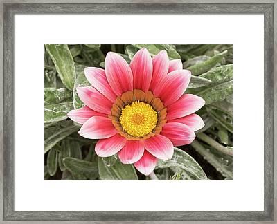 Gazania 'frosty Kiss' Flowers Framed Print by Ann Pickford