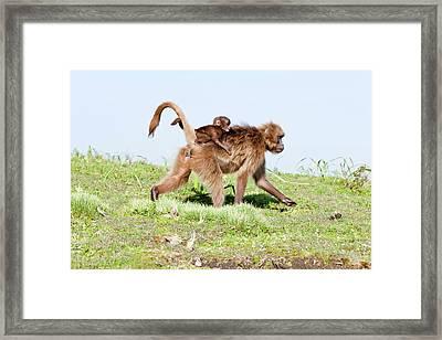 Gelada, Gelada Baboon (theropithecus Framed Print by Martin Zwick