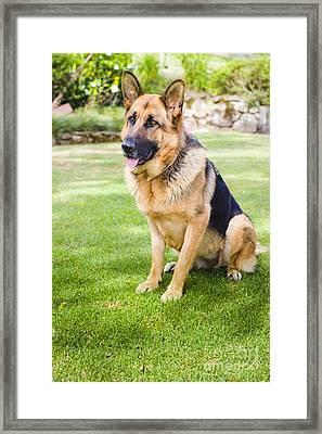 German Shepherd Dog Learning Obedience Training Framed Print by Jorgo Photography - Wall Art Gallery