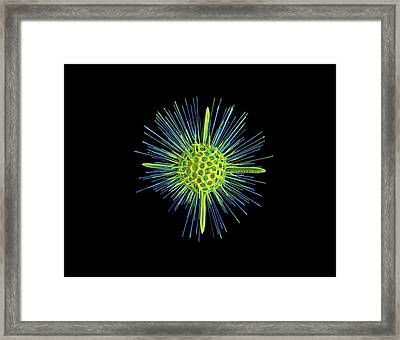 Glass Radiolarian Model Framed Print by Dan Sykes/natural History Museum, London