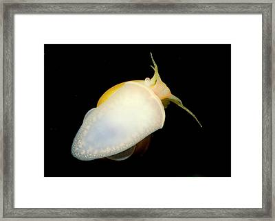 Golden Apple Snail Framed Print by Nigel Downer