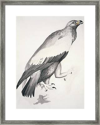 Golden Eagle, 19th Century Artwork Framed Print by Science Photo Library