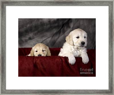 Golden Retriever Puppies Framed Print by Angel  Tarantella
