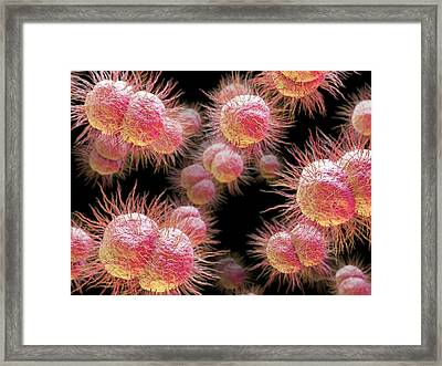 Gonorrhoea Bacteria Framed Print by Maurizio De Angelis