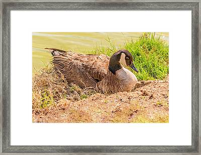 Goose Nesting Framed Print by Bob and Nadine Johnston