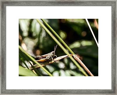 Grasshopper Framed Print by Leif Sohlman