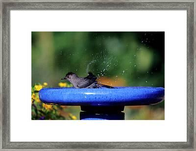 Gray Catbird (dumetella Carolinensis Framed Print by Richard and Susan Day