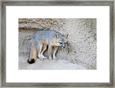 Gray Fox (urocyon Cinereoargenteus Framed Print by Larry Ditto