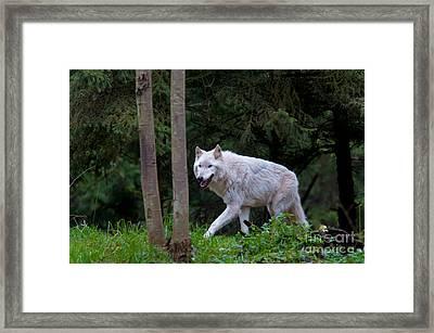 Gray Wolf White Morph Framed Print by Mark Newman