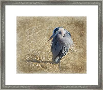 Great Blue Heron Framed Print by Angie Vogel