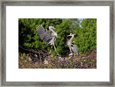 Great Blue Herons Framed Print by Bob Gibbons