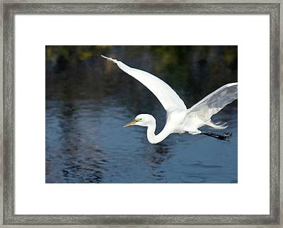 Great Egret In Flight Framed Print by Bob Gibbons