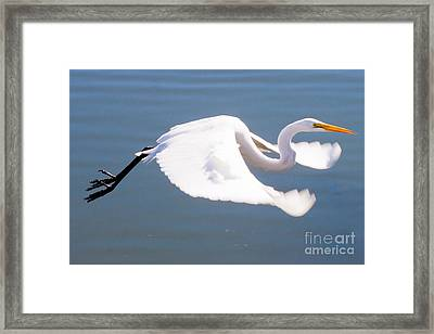 Great Egret In Flight Framed Print by Thomas Marchessault