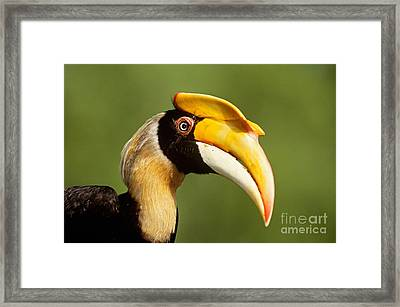 Great Hornbill Framed Print by Art Wolfe