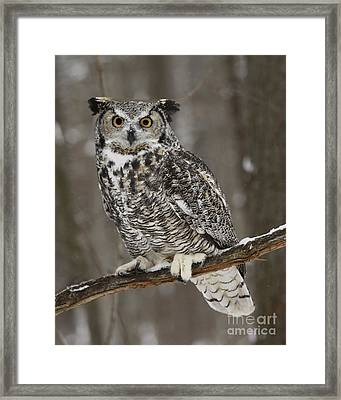 Great Horned Owl Watching You Framed Print by Inspired Nature Photography Fine Art Photography