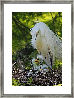 Great White Egret Mom And Chicks V Framed Print by Suzanne Gaff