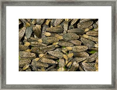 Greater Burdock Seeds Arctium Lappa Framed Print by Bob Gibbons