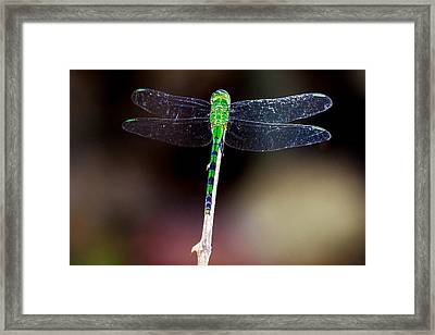Green Dragonfly Framed Print by Craig Lapsley