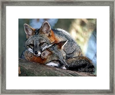 Grey Foxes Framed Print by Millard H. Sharp