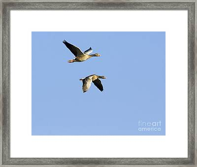 Greylag Geese In Flight Framed Print by Duncan Shaw